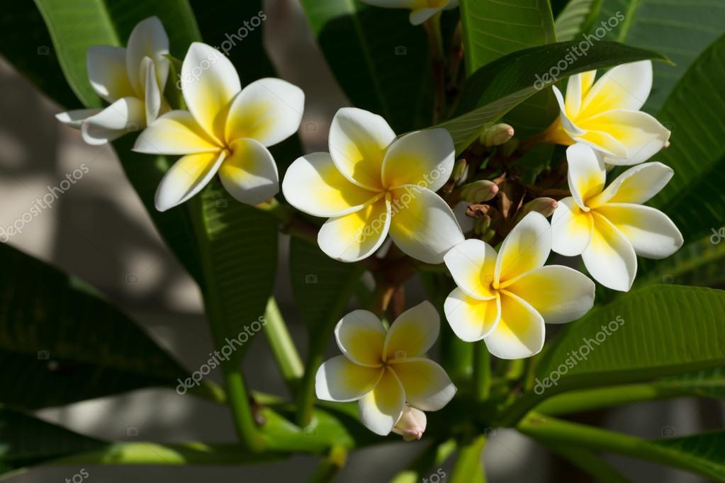 weißen Frangipani Plumeria Blüte auf Baum — Stockfoto © Sutichak ...