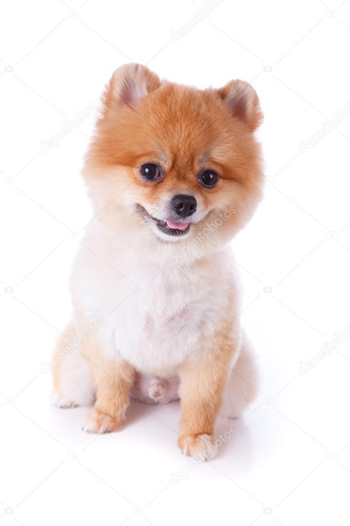 Pomeranian Dog Brown Short Hair Stock Photo C Sutichak 60598071