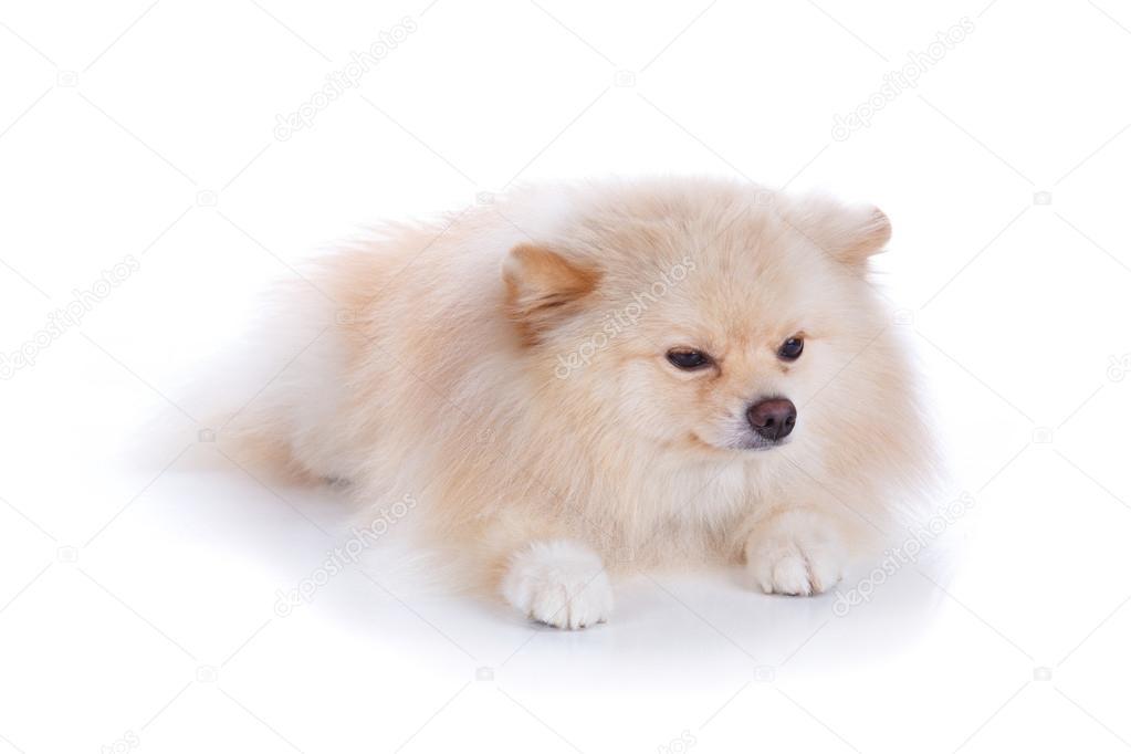 cachorro Pomerania blanco — Fotos de Stock © Sutichak #61980003