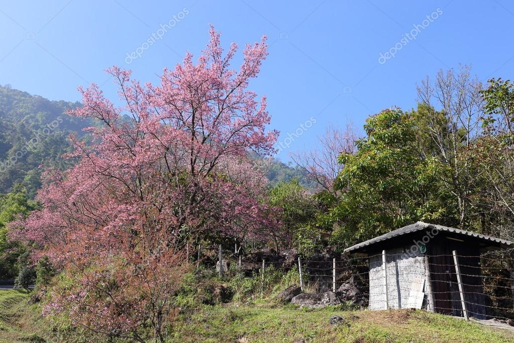 fleurs de cerisier rose dans le jardin à chiang mai, Thaïlande ...