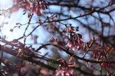 růžový třešňový květ květiny v zahradě v chiang mai, Thajsko