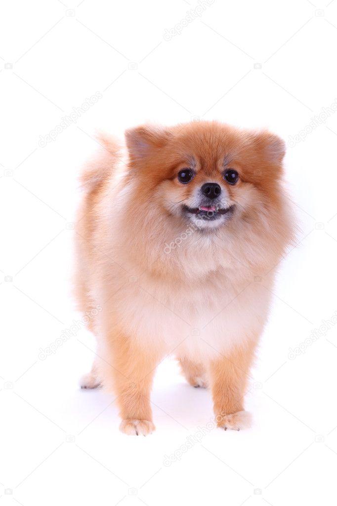Brown Pomeranian Dog Isolated On White Background Stock Photo
