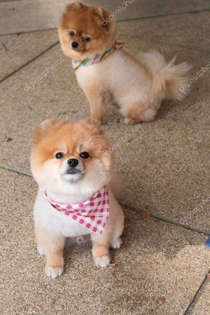 Pomeranian Puppy Dog Grooming With Short Hair Cute Pet Smiling