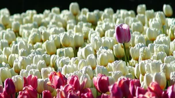 Mnoho bílých a růžových tulipánů