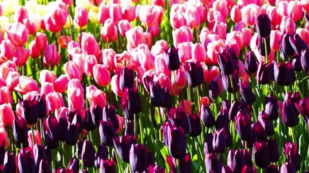 Sok tarka tulipán