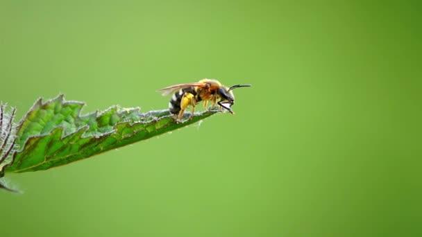 včela pije kapka vody a myje