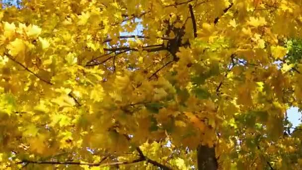 žlutá Javorové listy