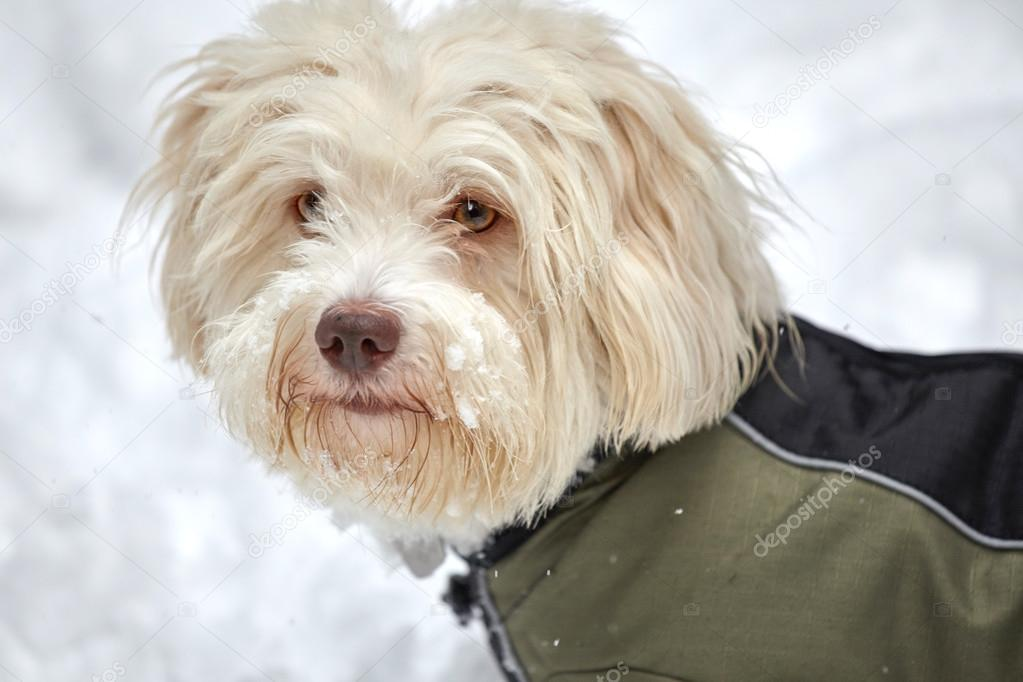 White havanese dog in snow with snow jacket — Stock Photo