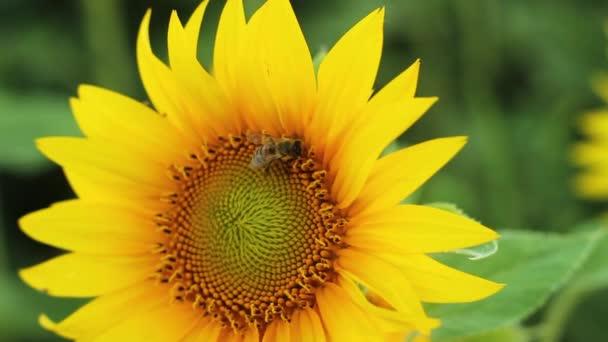 Včela prochází podél krásné slunečnice. to sbírá pyl pro the Honey na drsné Sunset.