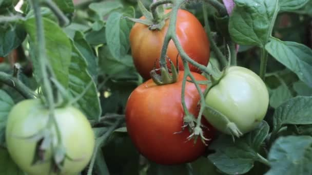 Rajčata pěstování na farmě. Zralá úroda.