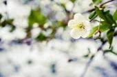 Kvetoucí strom pokrytý květy, pupeny, pupeny a listy