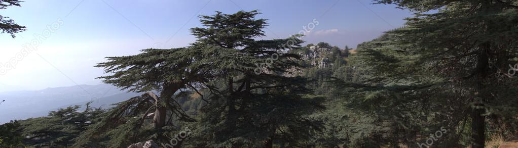 Cedar forest in Lebanon