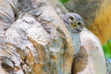 Owl Perched in deep forest jungle stand on tree hole