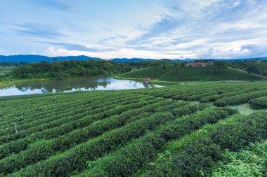 Sunset over tea plantation