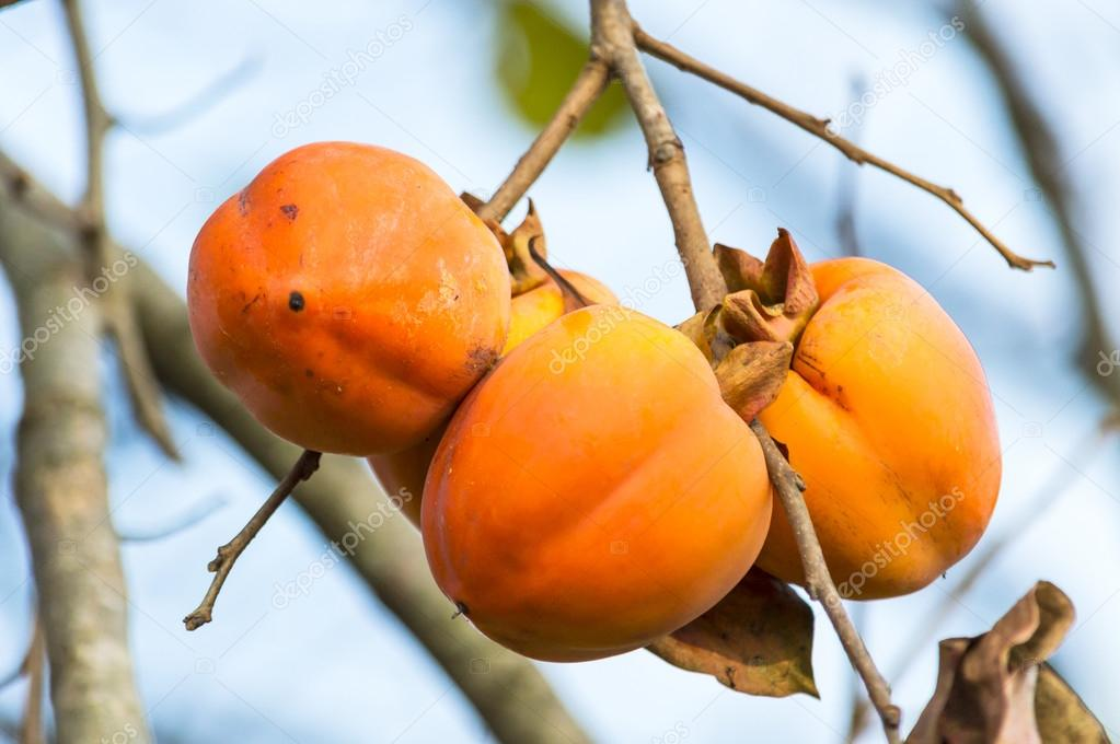 The fruit Persimmon