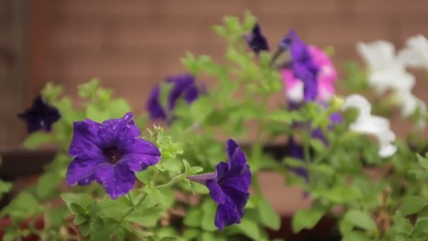 Violet purple flowers near the house, petunia