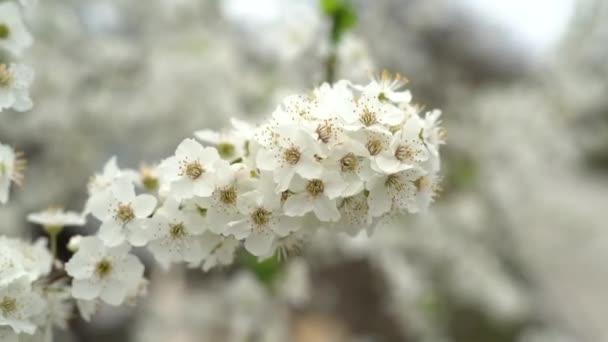 kvetoucí třešeň větev