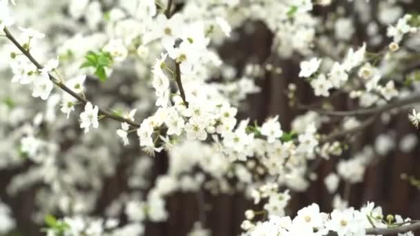 virágzás cseresznye fa