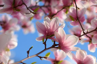 Magnolia flowers closeup