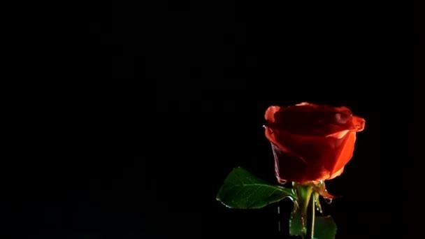 piros rózsa egy fekete háttér víz csepp a nap, romantikus ajándék szeretett