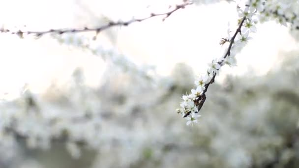 beautiful flowers on the cherry tree in the spring, with focus and out of focus, blur effect, white flowering