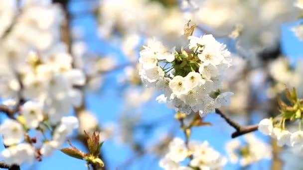 beautiful flowers cherry on a background of blue spring sky in the wind