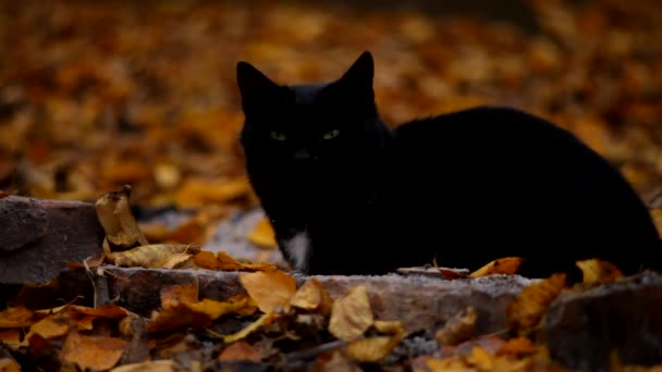 black cat in autumn garden looking at the camera and runs