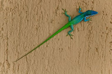 A two coloured lizard