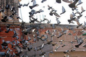 Many pigeons flying on the background of the roofs of ancient buildings of Jaipur