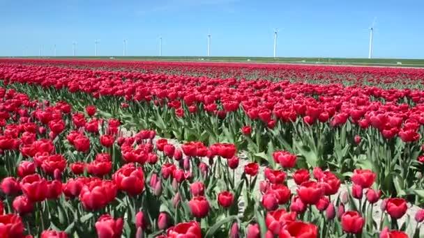Fantasztikus táj szélmalmok és tulipán mező Hollandiában. Teljes Hd-videó (High-Definition).