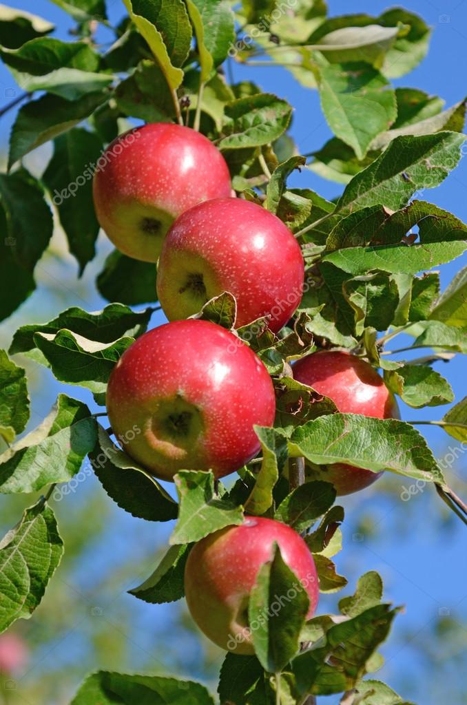 свежие спелые яблоки на ветке дерева яблоко в саду ...