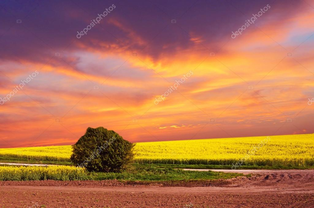 Mystical landscape with lone bush in a field of rape flowers at