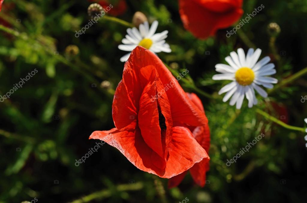 Poppy and two daisies (eyes, lips, silhouette, genitals - concep