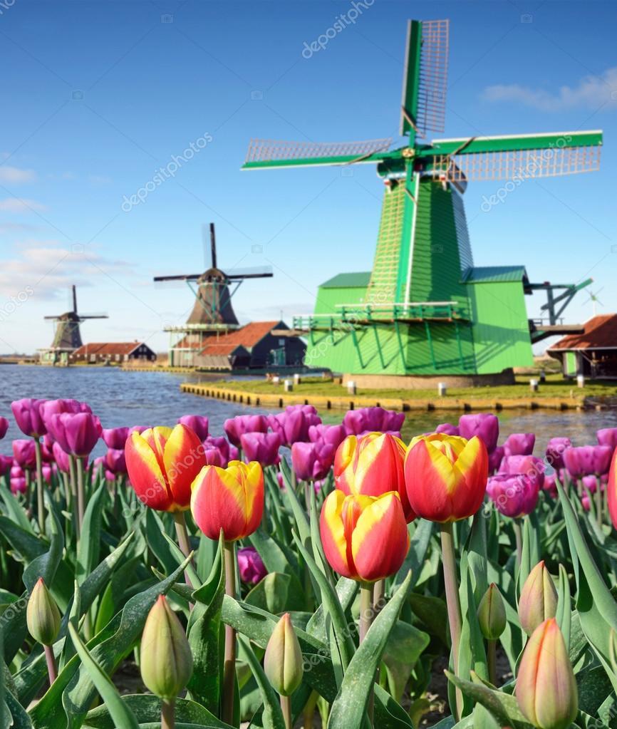 prachtige landschap van de molen en tulpen in holland stockfoto andrij ter 77943418. Black Bedroom Furniture Sets. Home Design Ideas