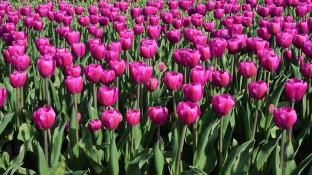 Krásné fialové tulipány střed pole v Nizozemsku, zblízka. Plné Hd (High Definition video).