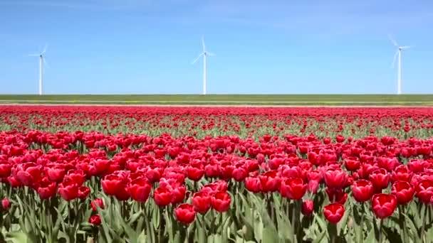 Kouzelná krajina s Tulipán pole v Nizozemí. Plné Hd (High Definition video).