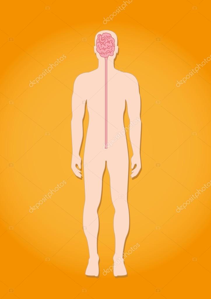 Das Nervensystem des Menschen — Stockvektor © sasha_zerg #110070766