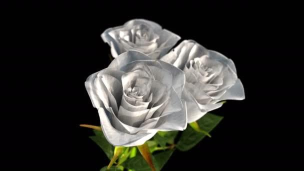 Drehen weißer Rosen auf schwarzem Hintergrund - 3D-Renderer. nahtlose Schleife