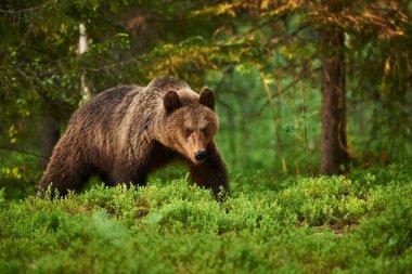 """Картина, постер, плакат, фотообои """"бурый медведь в лесу постеры печать картины модульные города"""", артикул 101051668"""