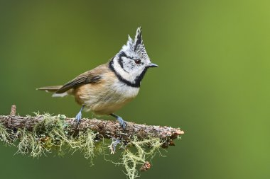 Lovely crested tit