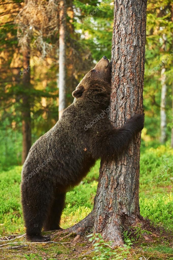 Фото меток медведей на деревьях