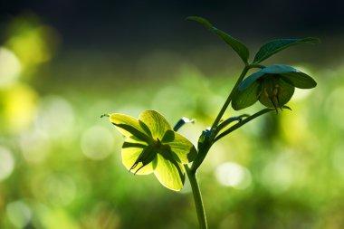 Green hellebore, Helleborus viridis