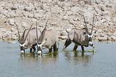 Fotografie Oryx trinken