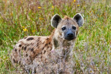 Spotted hyena frontally