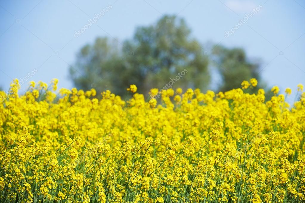 Field of yellow flowers intentionally blurred