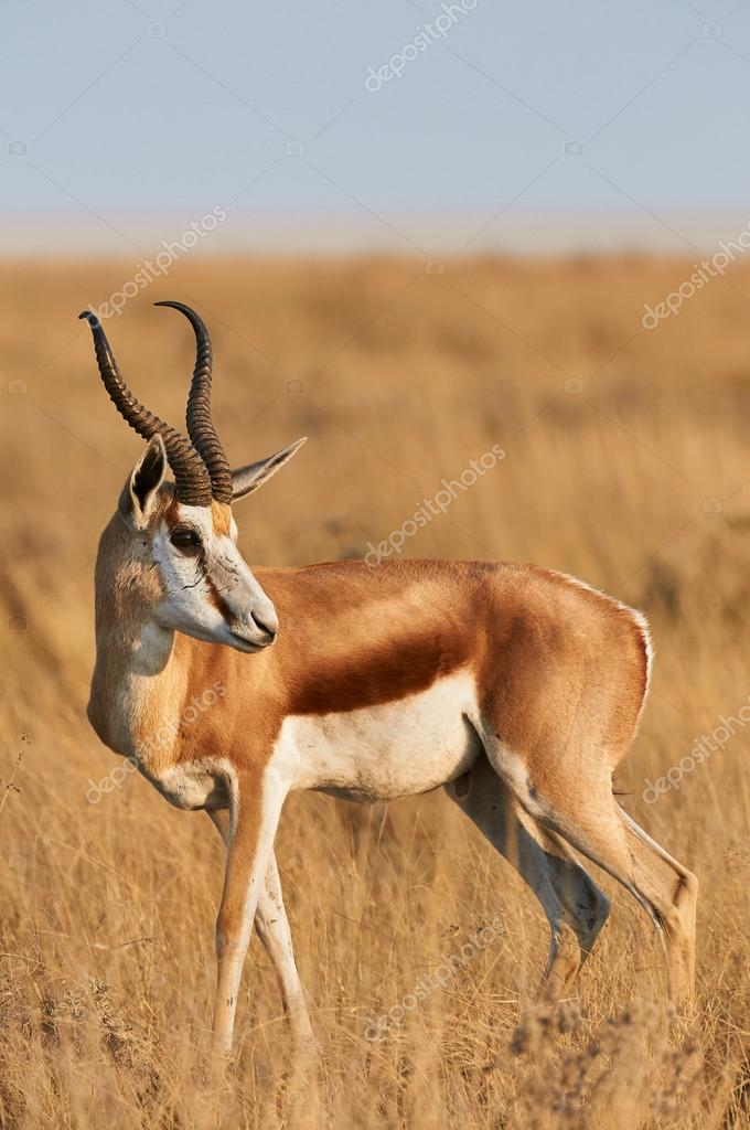 Male Springbok
