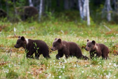 Three beautiful bear cubs