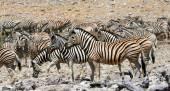 Zebra csorda