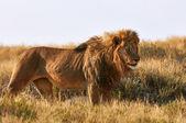 Lev v savaně