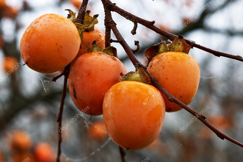 Fruits of persimmon